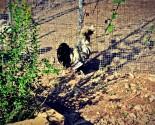 Galletto nero di razza padovana