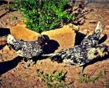 Gruppo di padovane nere con galletto